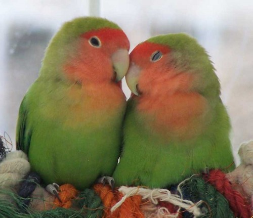 Lovely-Love-Birds-500x431