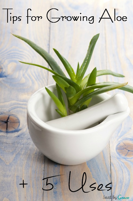 Tips for growing Aloe