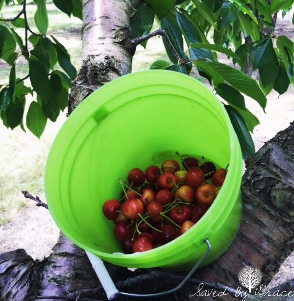 cherries in bucket freshly picked